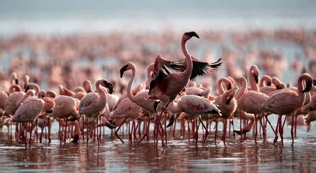Flamingo nüfusu iki kat arttı