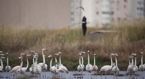 İzmir'de Flamingolar yaşıyor