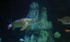 Avrupa'nın en büyük yeşil deniz kaplumbağası Iggy yeni yuvası SEA LIFE İstanbul'da