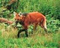 Tehlike altındaki yeleli kurt Kalem Ormanında ortaya çıktı