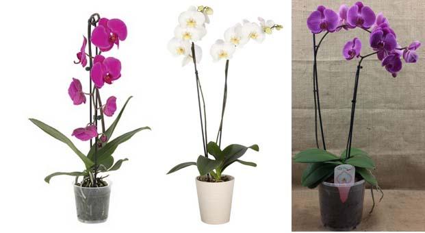 Sevgiliye özel zarif orkideler Koçtaş'ta